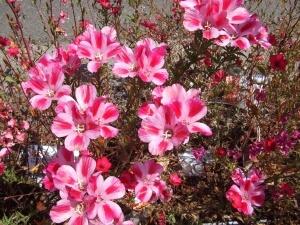 Цветение годеции в июле