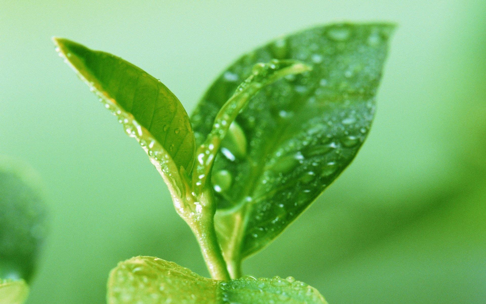 Стевия – полезная медовая трава. Выращивание и уход