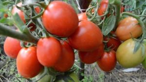 Чтобы получить плоды от высокоурожайных, устойчивых к болезням сорта томатов, необходимо приложить много усилий и терпения