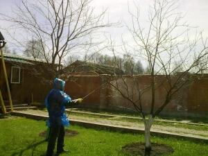 Полученным раствором нужно обрабатывать деревья некоторое количество раз