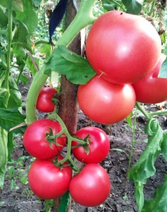 После того как пройдет угроза заморозков подготовленную рассаду томатов высаживают в открытый грунт