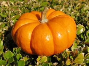 Выращивание тыквы начинается с отбора семенного материала