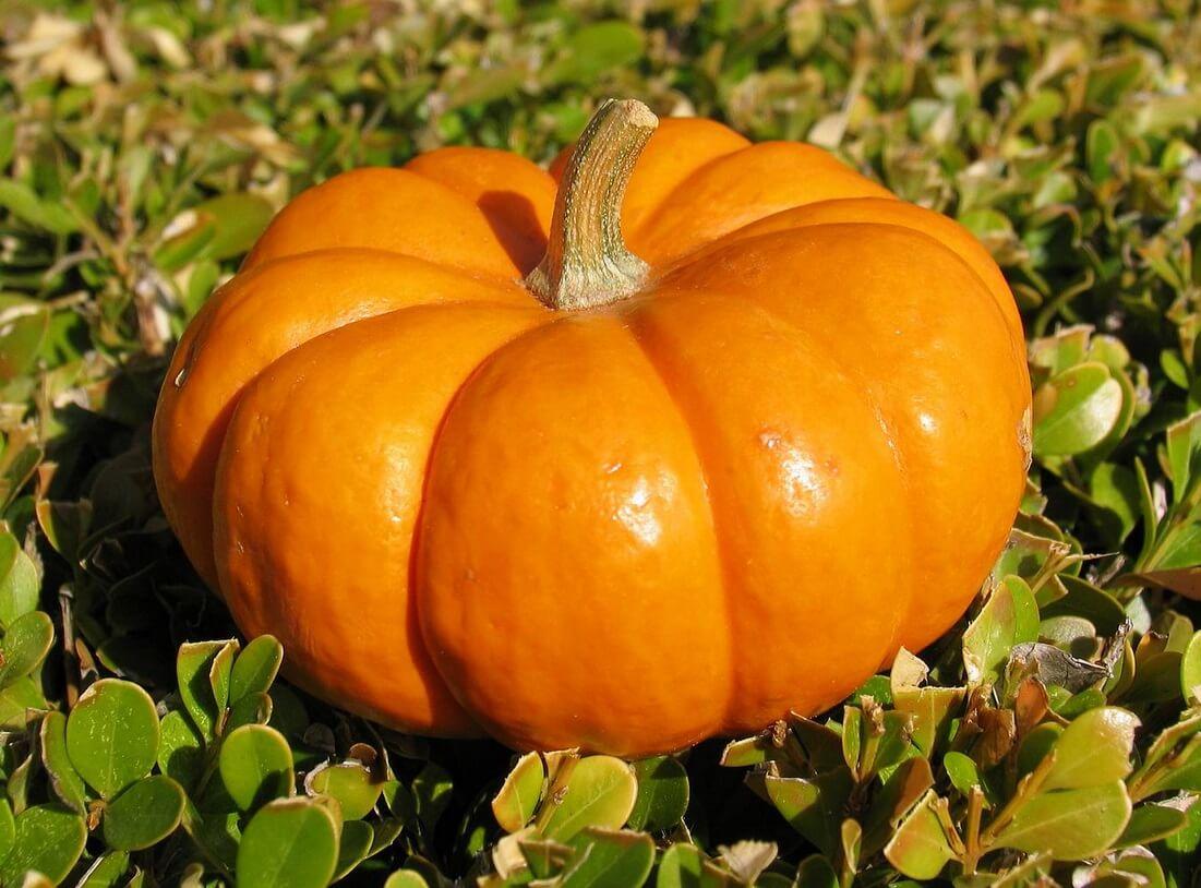 Тыква – выращивание в открытом грунте, витамины на грядке