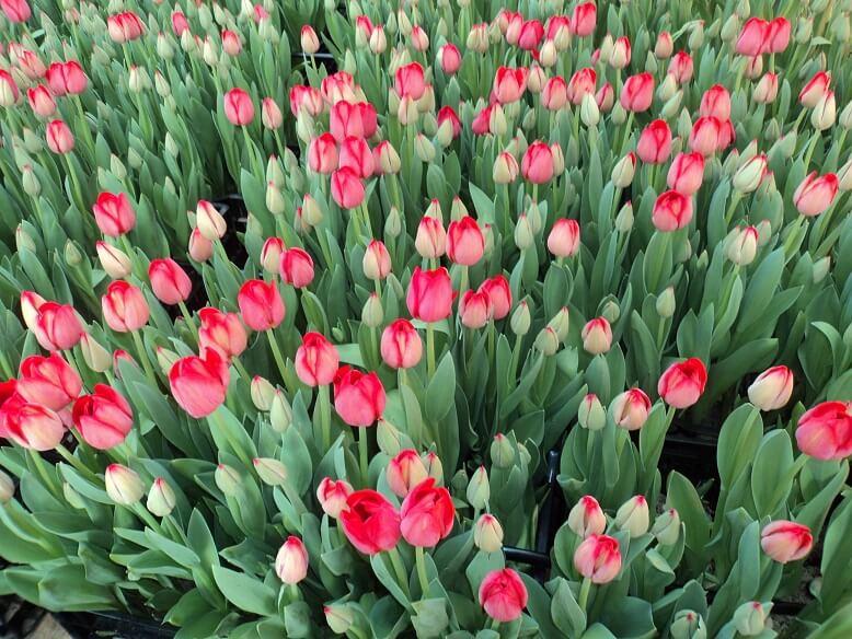 Выгонка тюльпанов в теплице к 8 марта — секреты садовода