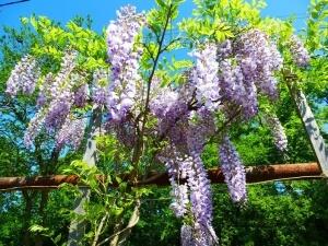 Wisteria seeds как вырастить из семян