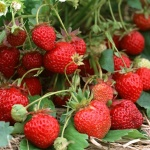 Посев клубники семенами: лучший способ размножения лакомства