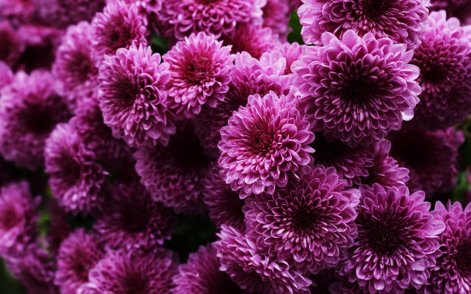 Вопросы цветоводов-любителей — как размножить хризантему из букета?