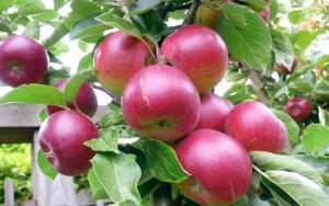 Если процесс выращивания яблони из семечка был начат в естественные сроки, то есть осенью, к январю где появятся хорошие ростки