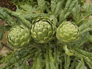 Как вырастить артишок из семян: полезные советы