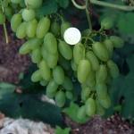 Культура винограда насчитывает множество сортов