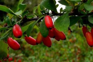 В тени или полутени красота пестролистного барбариса исчезнет, листья станут обычными