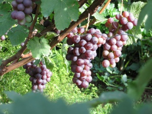Садить виноград можно весь сезон