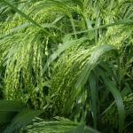 Просо прутьевидное – воздушное облако в саду: все о выращивании декоративного злака