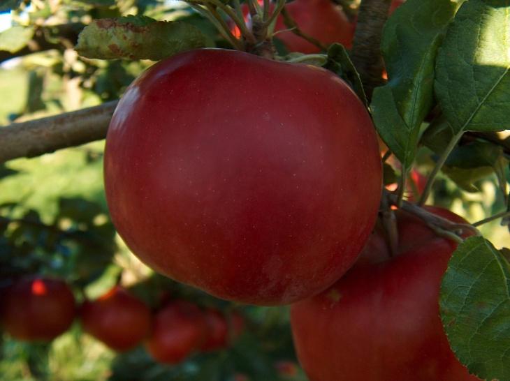 При правильной посадке яблони появятся хорошие плоды