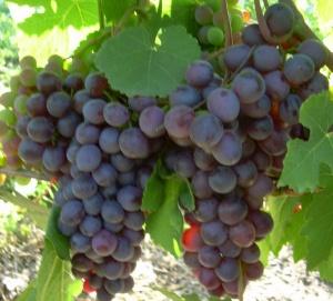 Урожай винограда Фиолетовый ранний