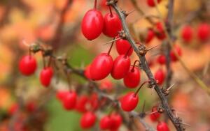 Барбарис обыкновенный густо покрыт листьями, края которых красиво обрамлены мягкими иголочками