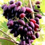 Фиолетовый виноград был выведен в Ростовской области