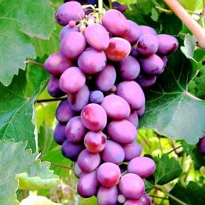 Виноград любит южную сторону