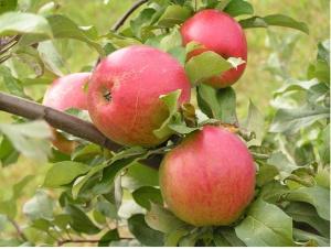 Спелые яблоки сорта макинтош