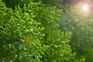 Хвойные растения всегда украшают сад