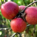 Практикум садовода: как  можно вырастить яблоню из косточки