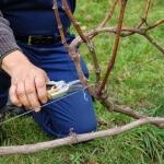 Обрезаем правильно виноград осенью