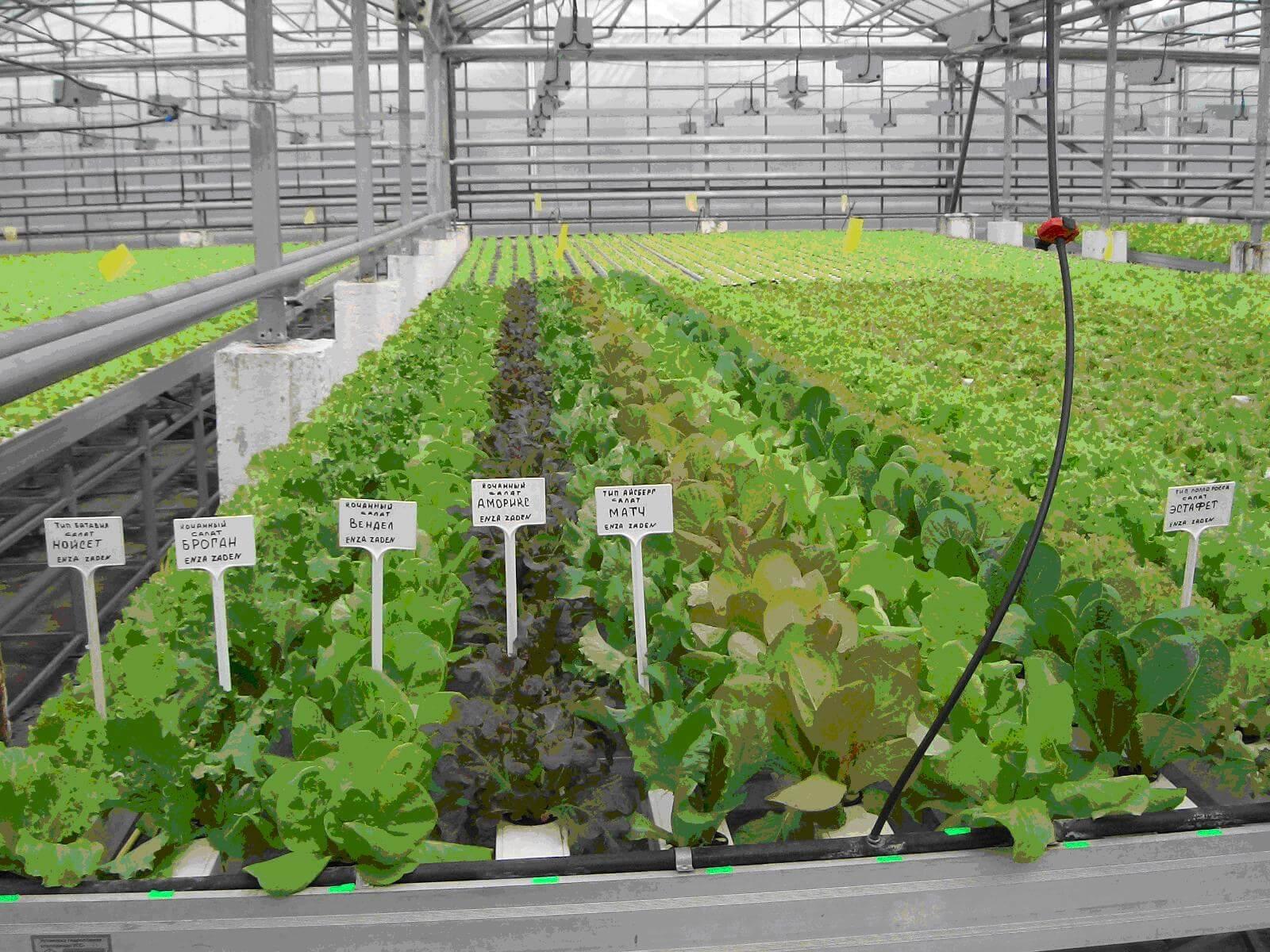 Выращивание укропа в теплице 33