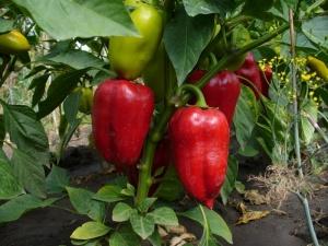 Выращивание сладкого перца в открытом грунте: делимся секретами