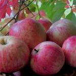 Как развести в саду осенний сорт яблок штрифель