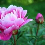 Древовидный пион: основные рекомендации по выбору сорта, уходу, посадке