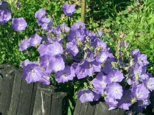Обильное цветение колокольчика карпатского