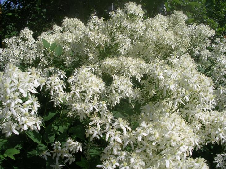Результаты цветения клематиса после удобрения