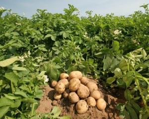 Главный вопрос садоводов: как правильно садить картофель?