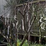 Как правильно прививать плодовые деревья: важные моменты и особенности