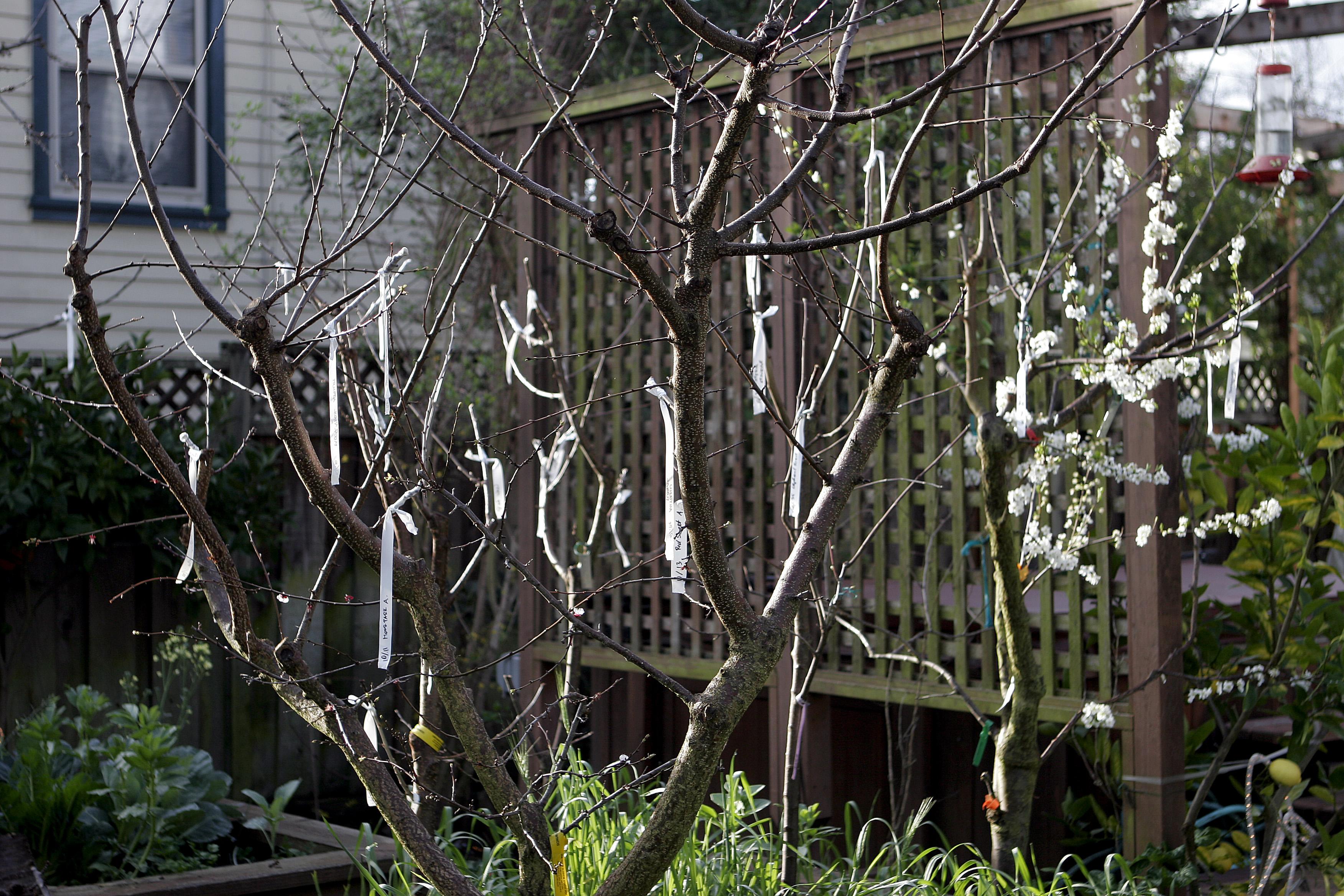 Как правильно прививать плодовые деревья — важные моменты и особенности