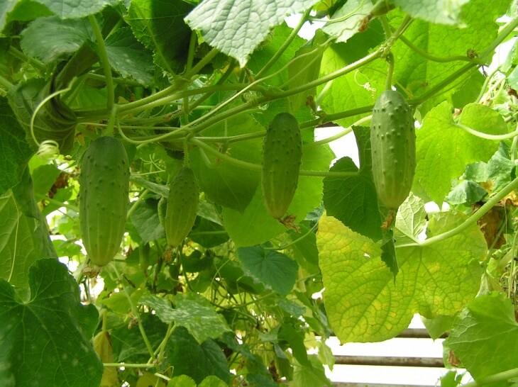 Урожай огурчиков после удобрения