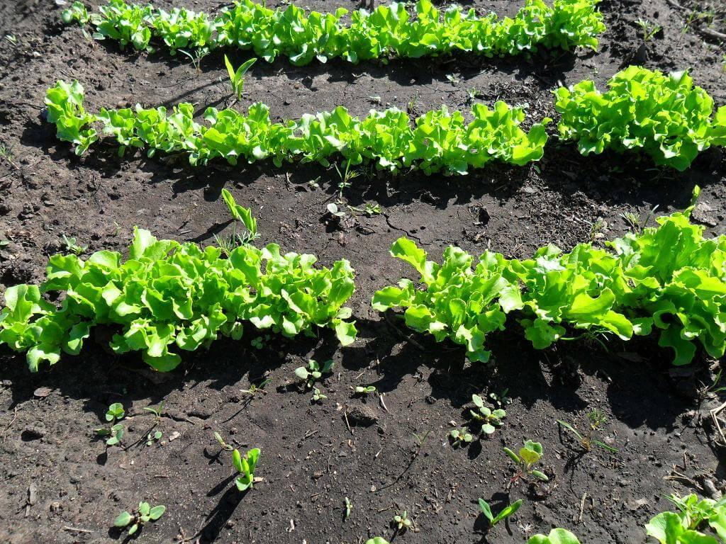 Сажать салат в открытый грунт 53
