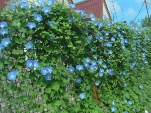 Декоративные вьющиеся цветы для дачи