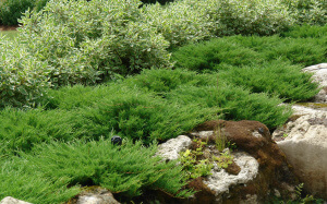 Можжевельник, как украшение садового участка