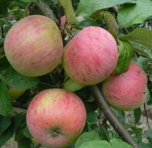 """Урожай яблони """"Медуница"""""""