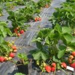 Выращивание клубники: агротехника и общие рекомендации