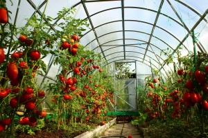 Сведения об основных ранних сортах томатов для открытого грунта