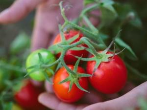 Урожай томатов при правильной посадке