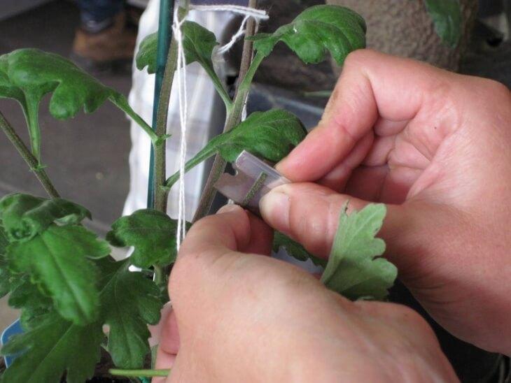 Черенкование хризантемы с помощью лезвия
