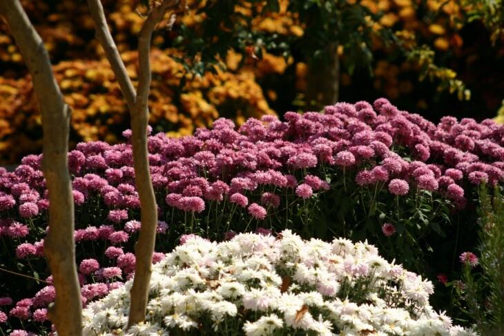 Выращенные хризантемы