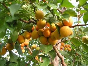 Плодоношение абрикоса после обрезки