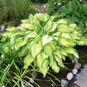 Лат. Hosta fortunei Albopicta