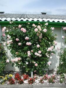 Украшение дома плетистой розой