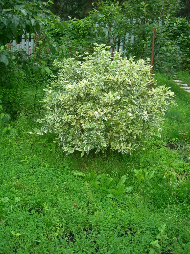 Дёрен выращивание и уход