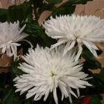 Правильное черенкование хризантем: лучшие способы